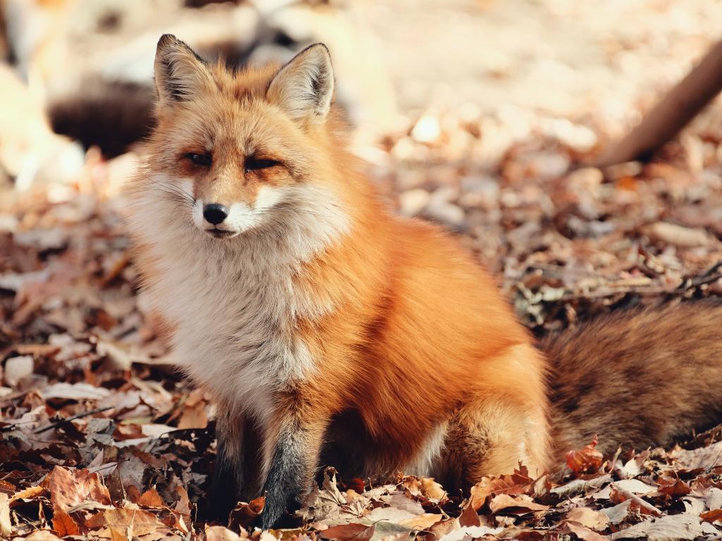 Red fox Miyagi Zao Fox Village / 藏王狐狸村