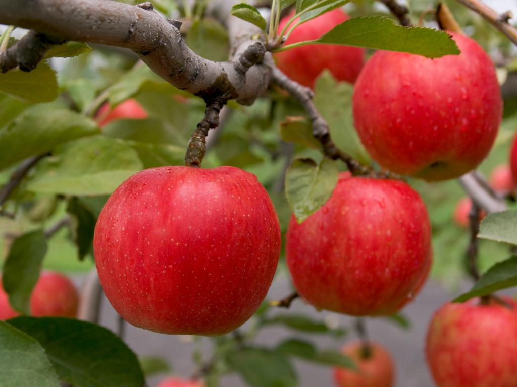Fruits Picking / 摘採水果