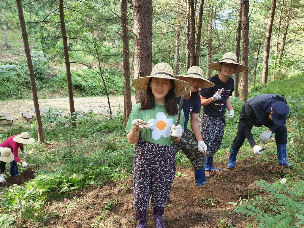 Ginseng Harvesting (人参采收)