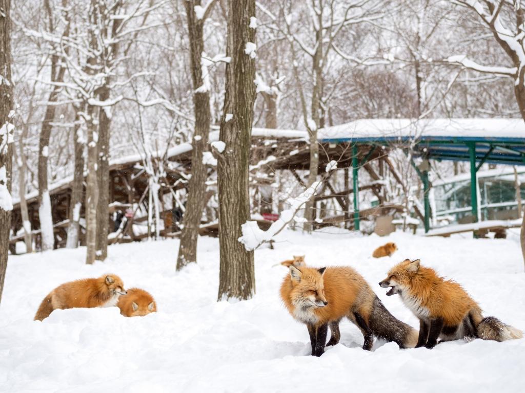 Miyagi Fox VIllage  / 藏王狐狸村