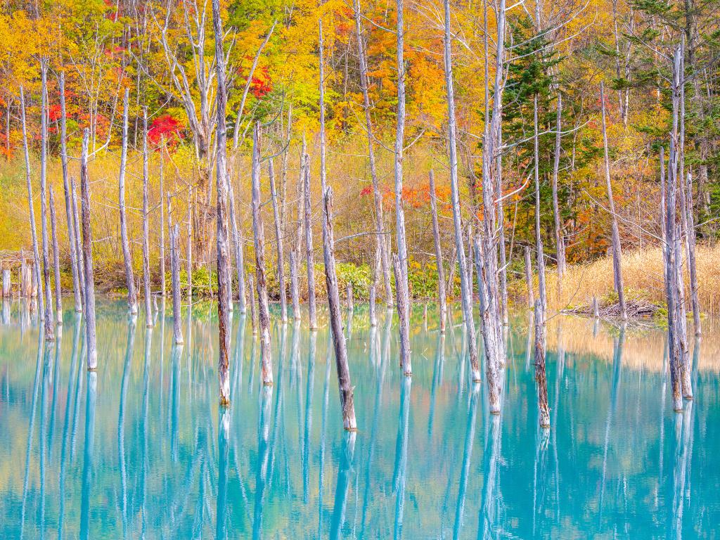 Blue pond of Biei / 青之池