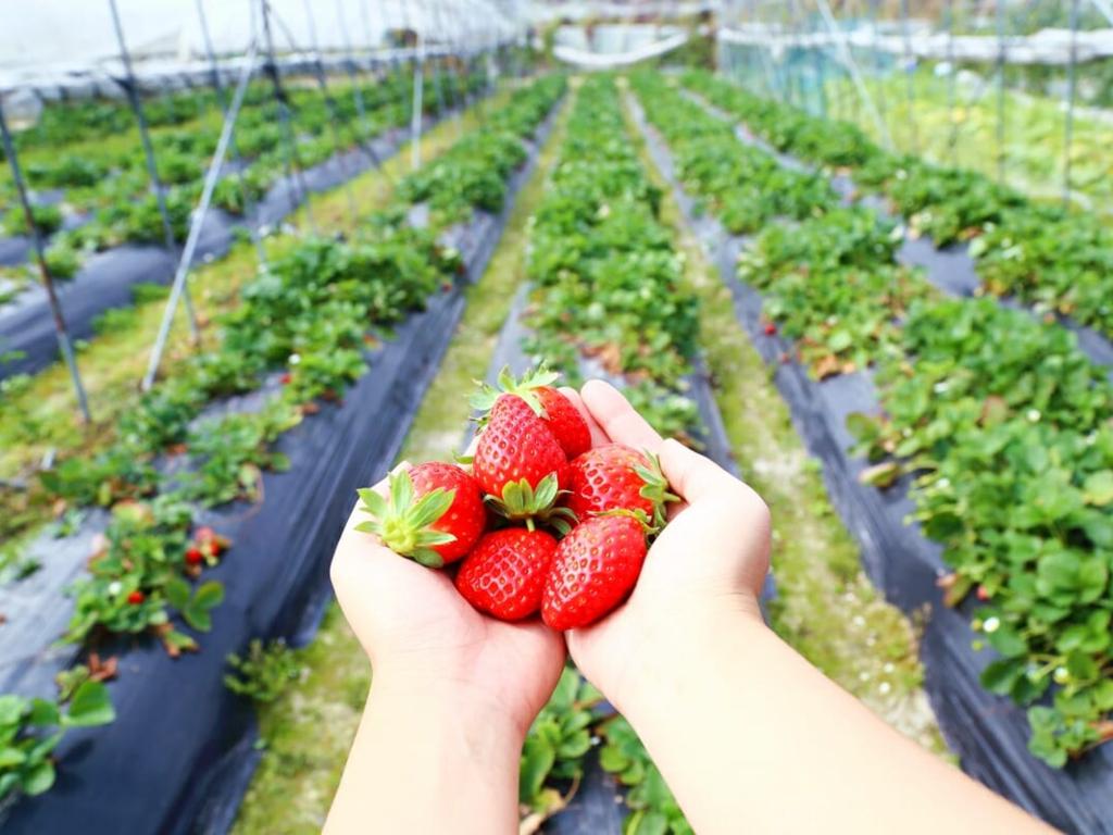 Strawberry Picking / 采摘水果