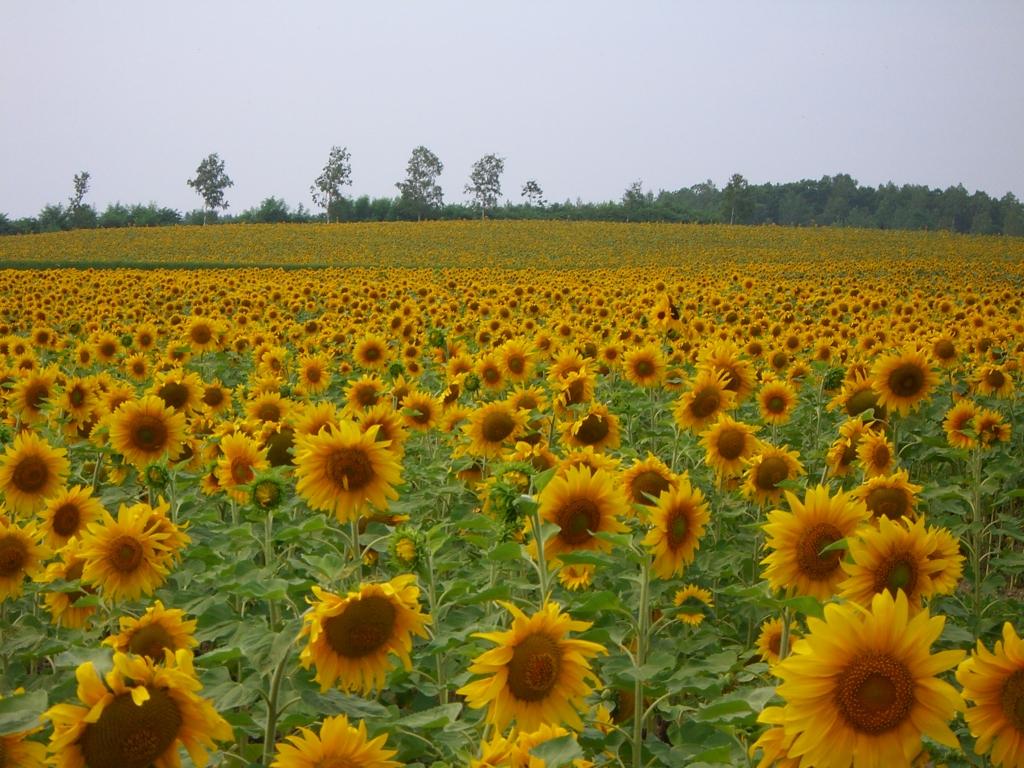 Seasonal Bonus - Biei Sunflowers (Aug) / 向日葵(8月)
