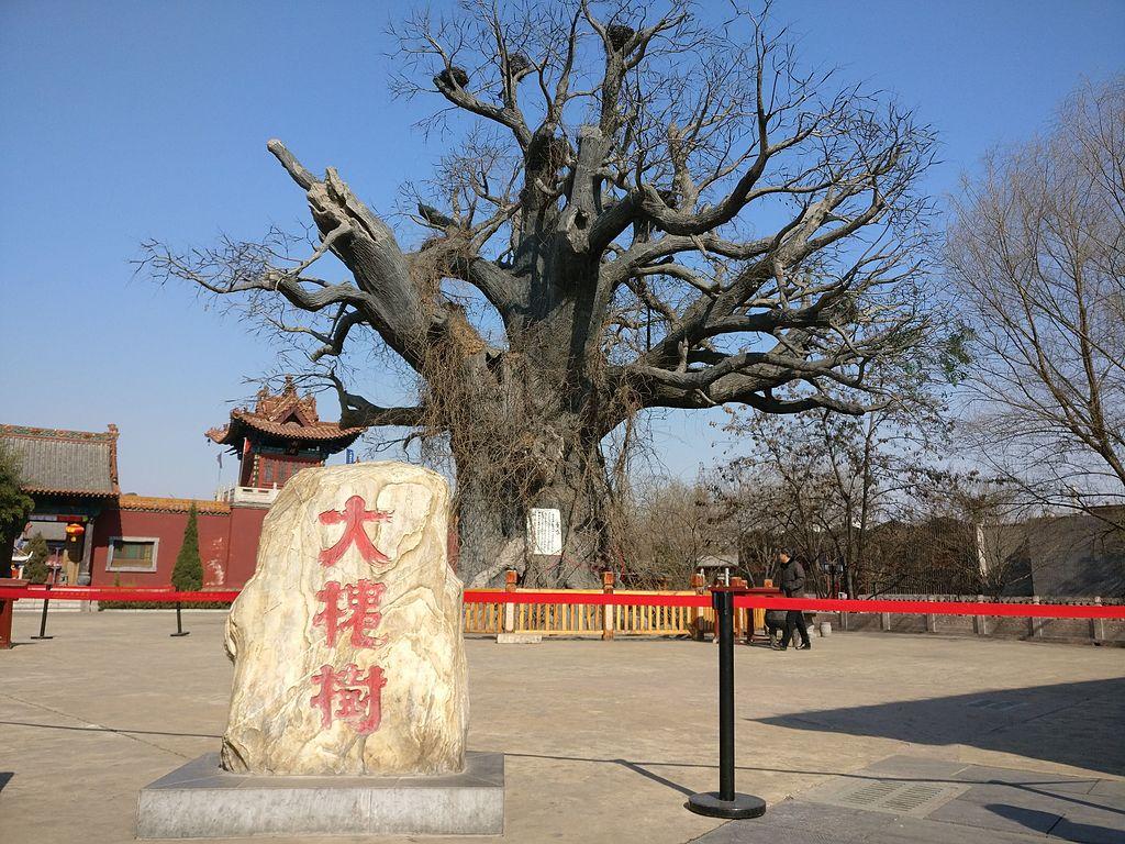 Hongdong Big Locust Tree洪洞大槐树
