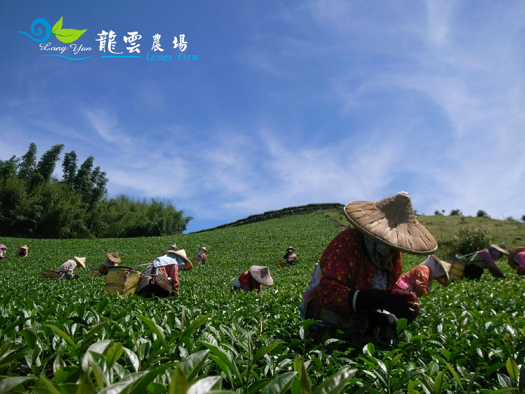 Long Yun Leisure Farm - Tea Plantation (龙云茶园)