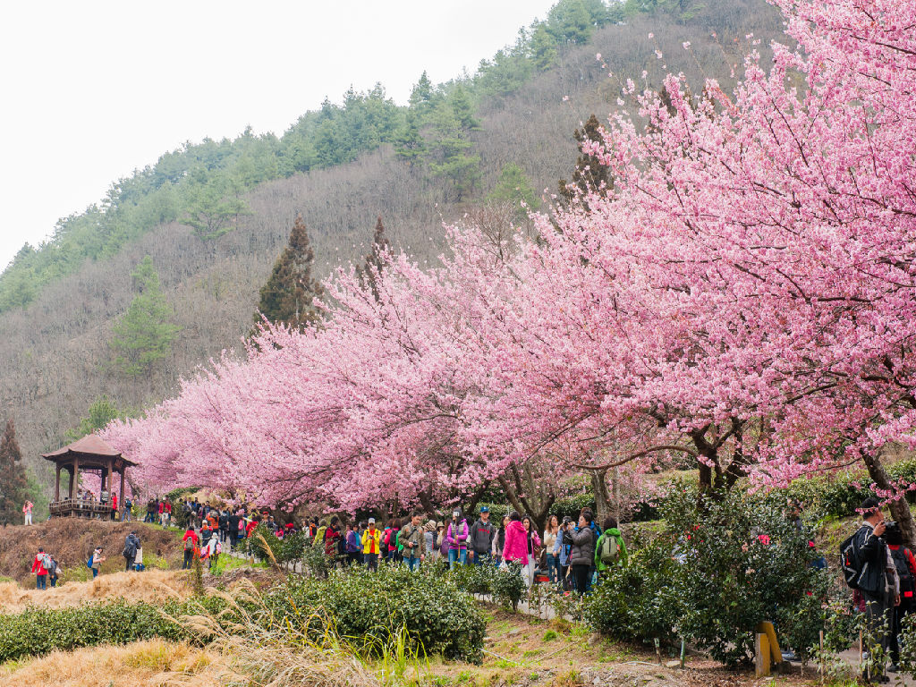 Cherry Blossom at Wuling Farm (武陵农场 - 樱花季)
